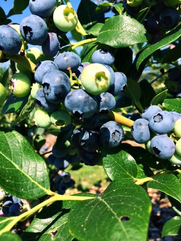 Blueberry Picking | SpeakLyfe